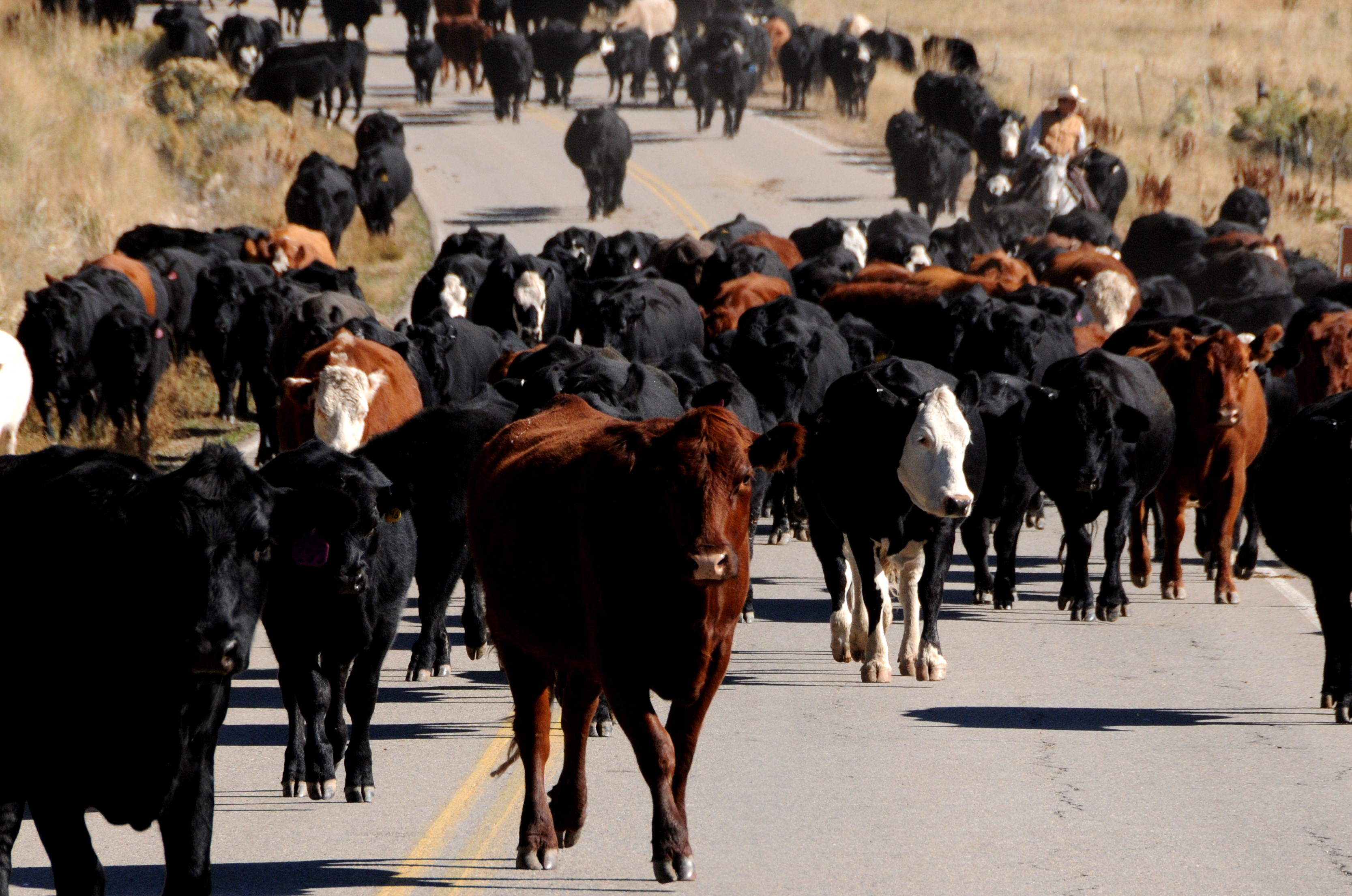 Cattle Quot Stampede Quot 171 The Family Trifecta